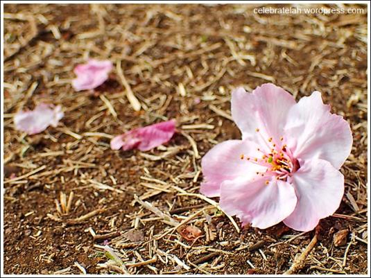 Sakura-Fallen